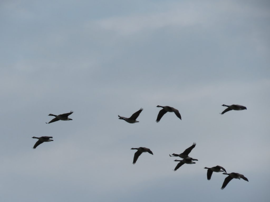 Canada geese were more plentiful than exotic ducks.
