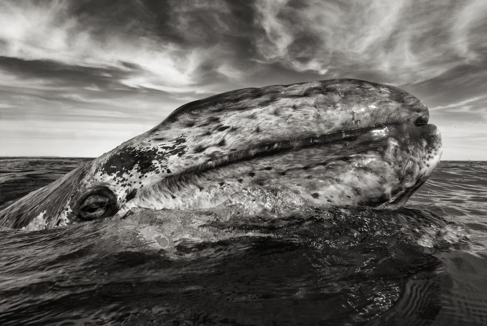 Gray whale (eschrichtius robustus) A gray whale head appears out of the water.