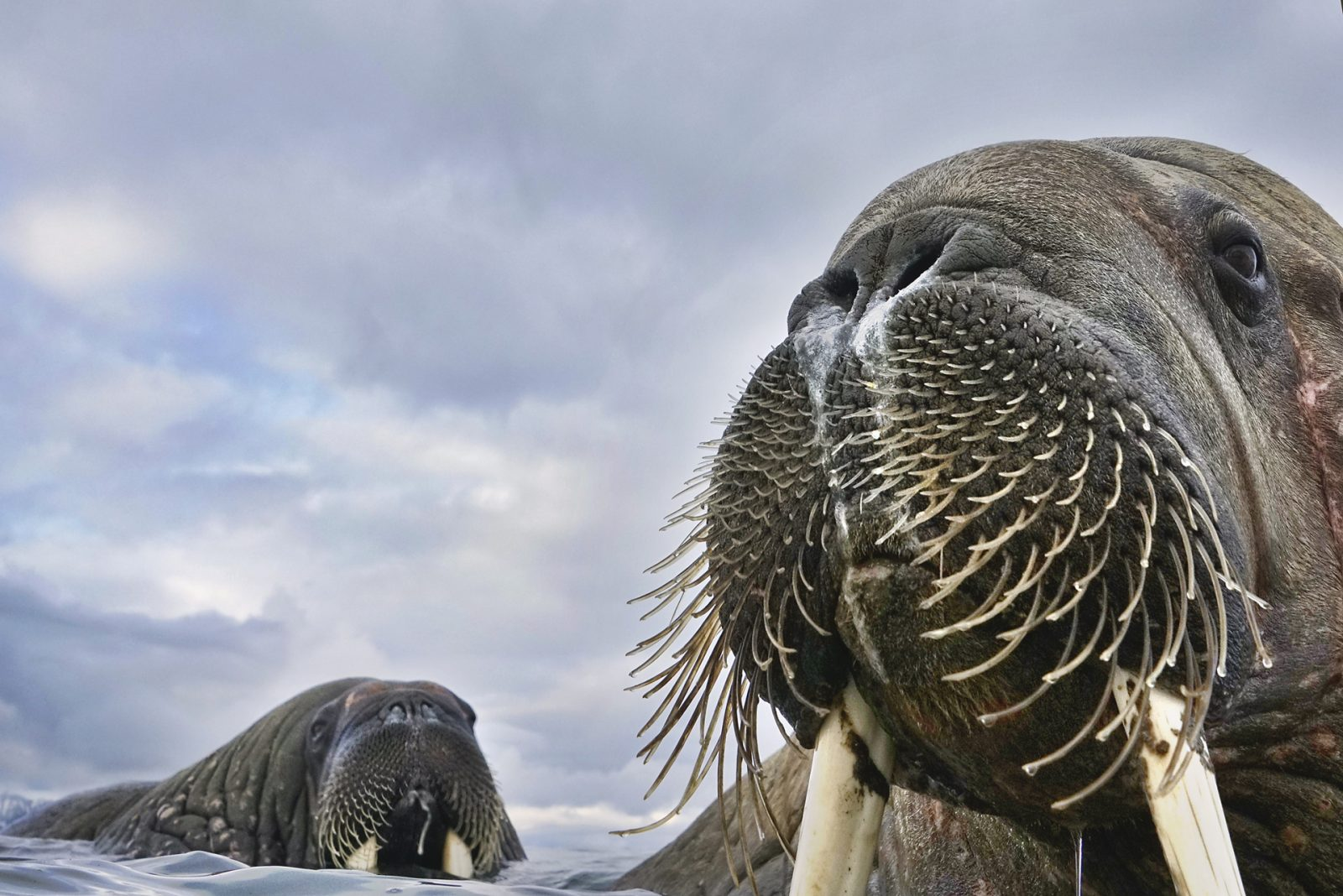 I reached a small colony of walruses in the Svalbard islands. With an underwater chamber connected to a pole six meters long I was able to approach this young specimen, also immersed in the cold waters of the Arctic.