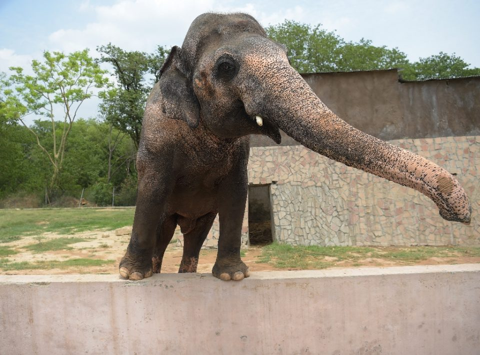 """Pakistani elephant Kaavan is seen at the zoo in Islamabad in 2016, as activists have long called for his conditions to be improved - AAMIR QURESHI / ©AFP"""