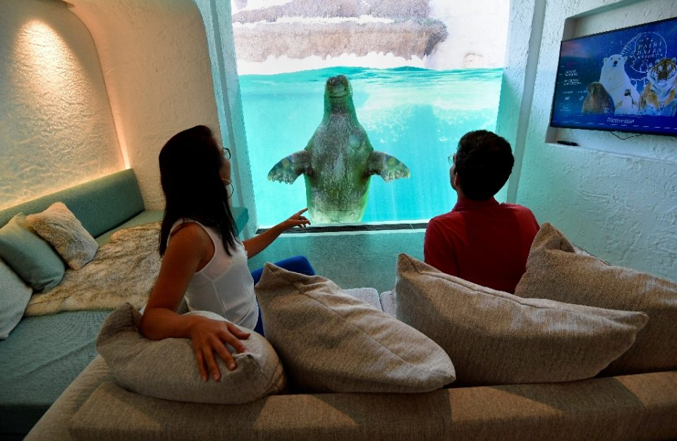 Visitors look at a walrus from their hotel room at the Pairi Daiza animal park in Brugelette, on July 30, 2020. (AFP Photo/JOHN THYS)