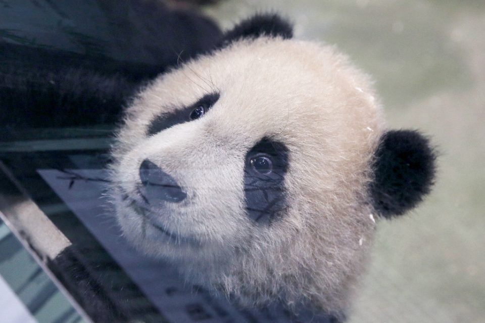 Panda cub Yuan Bao during a media preview at Taipei Zoo - HSU Tsun-hsu / ©AFP