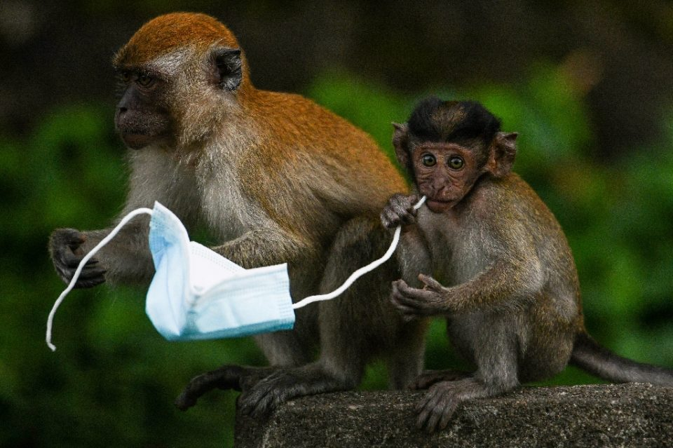 Face masks are proving a deadly hazard for wildlife -- a chocking hazard for diminutive macaque monkeys, for example - Mohd RASFAN / ©AFP
